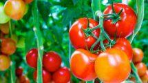 طريقة زراعة الطماطم بالبيت